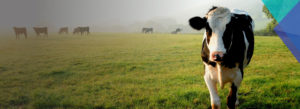 Header-Cow-in-Field